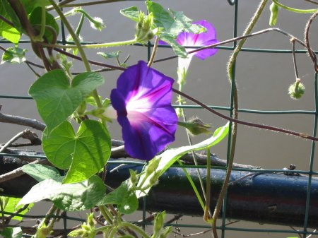 Morning Glories outside my studio